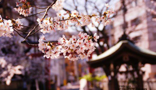 超穴場!桜お花見スポットが江東区木場の神社にあった。