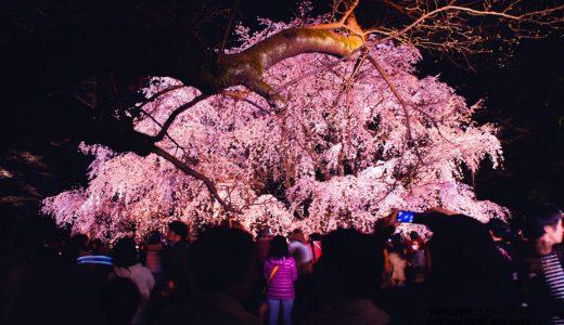 満開の六義園シダレザクラ。夜桜撮影のポイントとかレタッチとか。