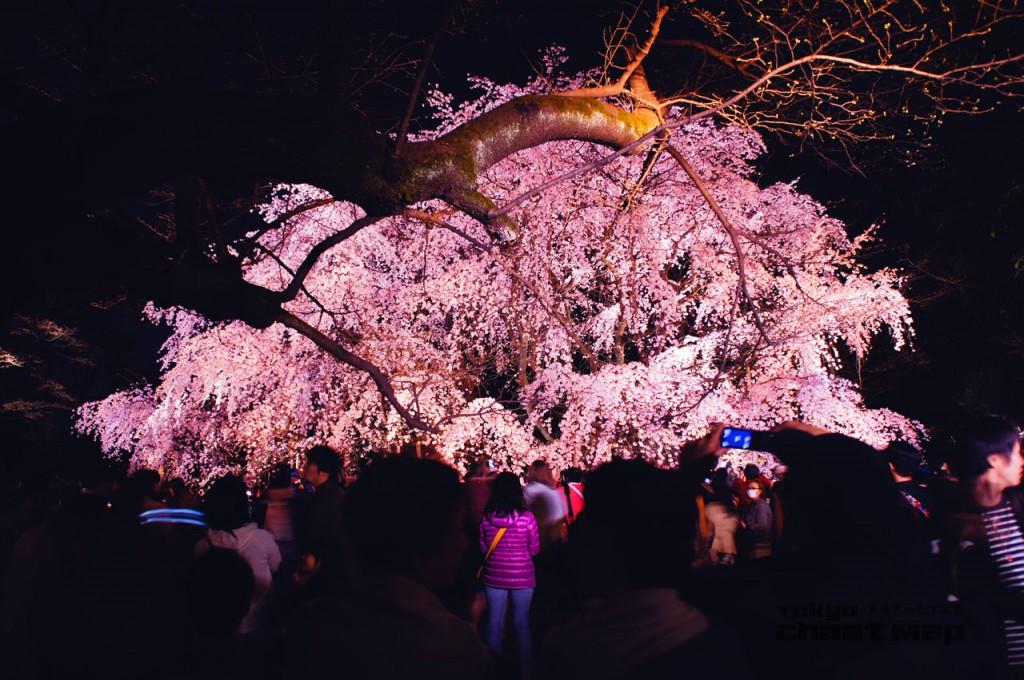 六義園シダレザクラ夜桜撮影